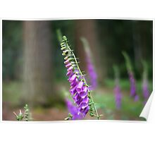 Forest of Foxgloves Poster