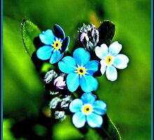 Forget me nots by petemar12