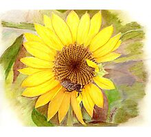 Bumble Bee on Sunflower Photographic Print