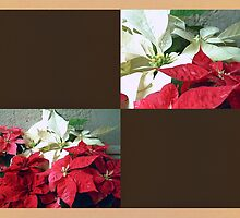 Mixed color Poinsettias 3 Blank Q3F0 by Christopher Johnson