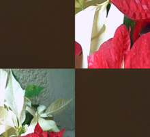 Mixed color Poinsettias 3 Blank Q3F0 Sticker