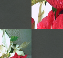 Mixed color Poinsettias 3 Blank Q6F0 Sticker