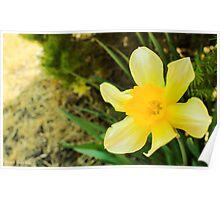 Cheery Daffodil Poster