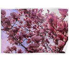 Magnolia Tree in Full Bloom Poster