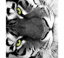 The Eye of the Tiger by Jay Ng