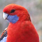 Crimson rosella thriving in alpine Thredbo  by DianneLac