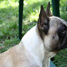 Profile of a Frenchie by v-something