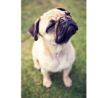 Cheesy Smile Pug *PROCEEDS TO CHARITY* Photographic Print