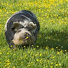 pig with buttercups by Barry Culling