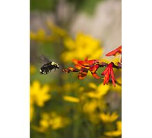 Bumble Bee Red Flower Photographic Print