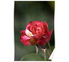 flower-red-white-rose Poster