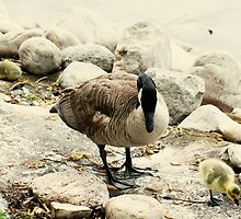 Canada Goose and Gosling on a Lakeshore by rhamm