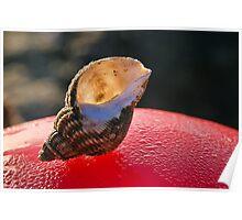 Common Whelk Shell Poster