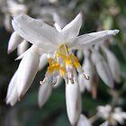 renga renga lily by Floralynne
