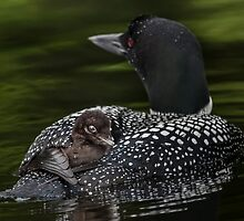 Loon and Chick - Little Sebago Lake, Maine by Steven David Johnson