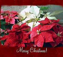 Mixed color Poinsettias 3 Merry Christmas P5F1 by Christopher Johnson