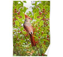 Red Bird Amidst Red Berries Poster