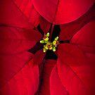 Poinsettia by alan shapiro