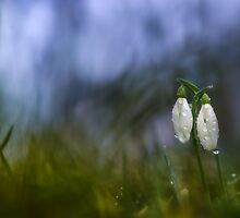 Snowdrops in pair by viktori-art