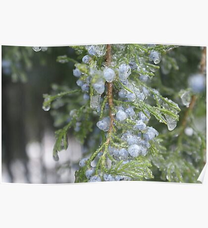 Cedar berries Poster
