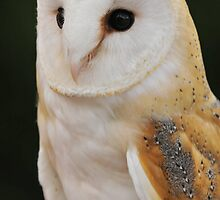 Barn Owl by Owl-Images