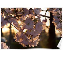 Sunset in the Cherry Blossoms Poster
