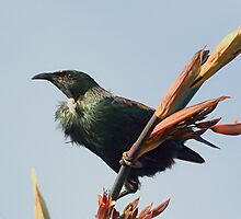 Tui on a flowering Flax........!  by Roy  Massicks