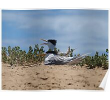 Crested Tern on Penguin Island Poster