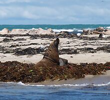Sealion on Seal Island by kalaryder