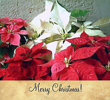 Mixed color Poinsettias 3 Merry Christmas S2F1 by Christopher Johnson