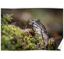 Waking Up, Pickerel Frog (Rana palustris)  Poster