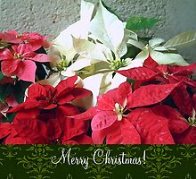 Mixed color Poinsettias 3 Merry Christmas S6F1 by Christopher Johnson