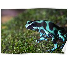 Green and Black Poison Dart Frog (Dendrobates auratus) Poster