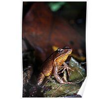 Brilliant Forest Frog (Rana warszewitschii), Costa Rica Poster