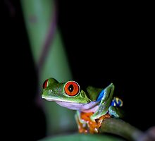 Red-eyed Treefrog Perched on Thin Branch (Agalychnis callidryas), Costa Rica by Dave Huth