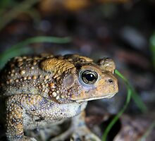 American Toad, in the rain, (Bufo americanus) by Dave Huth