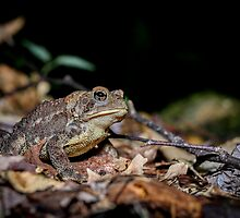 American Toad on the forest floor, (Bufo americanus) by Dave Huth