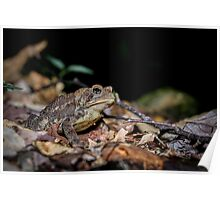 American Toad on the forest floor, (Bufo americanus) Poster