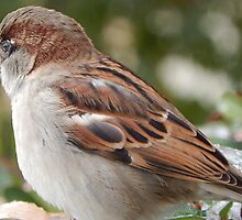 SPARROW (6) by Sandra  Aguirre