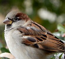 SPARROW (8) by Sandra  Aguirre