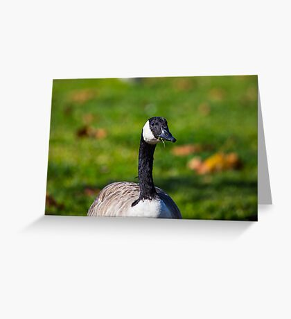Canada goose eating grass Greeting Card