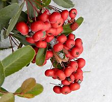 HOLLY-BERRIES (1) by Sandra  Aguirre