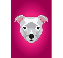 White Staffordshire Bull Terrier Photographic Print