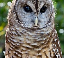 Barred Owl, Strix varia by Bernd F. Laeschke