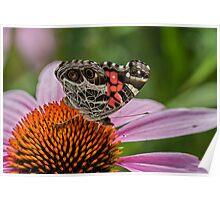 Zebra Swallowtail (Eurytides marcellus) Poster