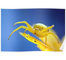Yellow crab spider after rain Poster