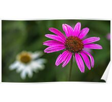 Echinacea Purpurea Poster