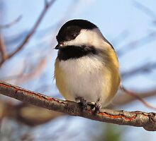 Chickadee picture by nerdywithnature