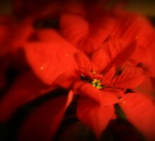 Red Poinsettia by kkphoto1