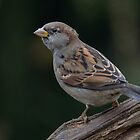 House sparrow - I by Peter Wiggerman